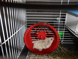 Myni, rongeur Hamster