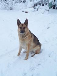 Myra, chien Berger allemand