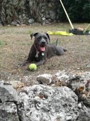 Myra, chien American Staffordshire Terrier