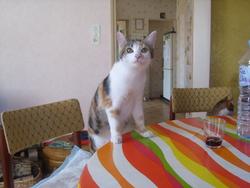 Myriam, chat Gouttière