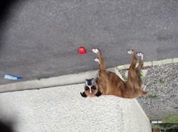 Myrka, chien Boxer