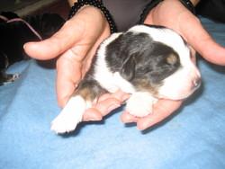 Myrtille, chien Bouvier bernois