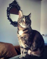 Myrtille, chat Gouttière