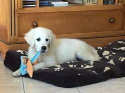 Myrtille, chien Golden Retriever