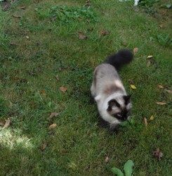 Myrtille, chat Siamois