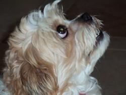Myrtille, chien Shih Tzu