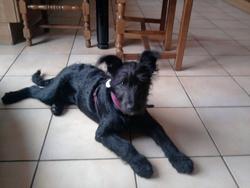 Myrtille, chien Schnauzer