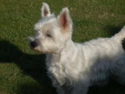 Myrtille, chien West Highland White Terrier