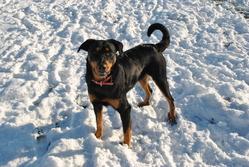 Myrtilles, chien Beauceron