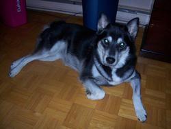 Mysha, chien Husky sibérien