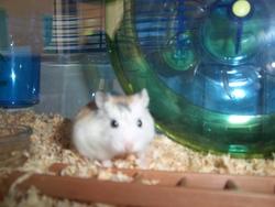 Myska, rongeur Hamster