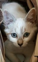 Myska, chat Siamois