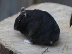 Mystère, rongeur Hamster