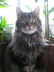Mystic, chat Sibérien