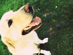 Mystic-Fyah, chien Labrador Retriever