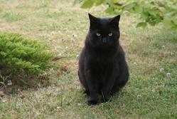 Mystique, chat Européen