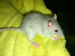 Mystique, rongeur Rat