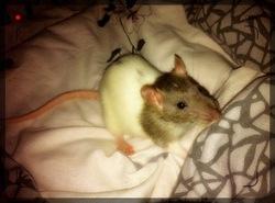 Mystra, rongeur Rat