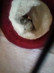 Flash, rongeur Hamster