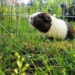 Némésis, rongeur Cochon d'Inde