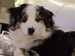 Néo, chien Berger australien