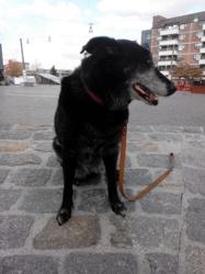 N Neil, chien Berger belge
