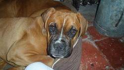 Nabaji, chien Boxer