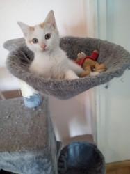 Nabilou, chat Européen