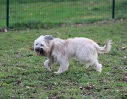 Nac, chien Berger des Pyrénées