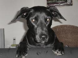 Nacha, chien