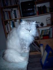 Nacre De La Voie Romaine, chat Persan