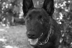 Nada, chien Berger hollandais