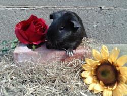 Nadège, rongeur Cochon d'Inde