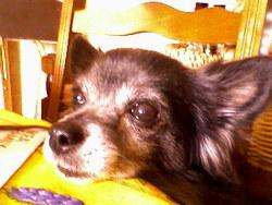 Naf-Naf, chien Chihuahua