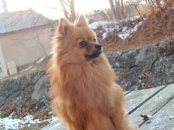 Nagaia, chien Spitz allemand