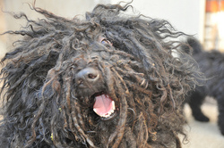 Naguy, chien Puli