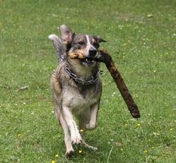 Nahia, chien