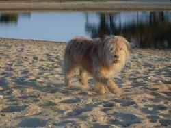 Nahia, chien Berger des Pyrénées