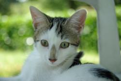 Naia, chaton Européen