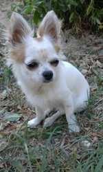 Naia, chien Chihuahua