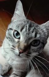 Naia, chat Siamois