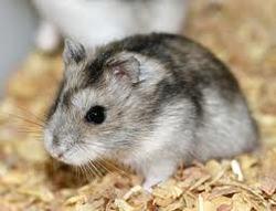 Neige, rongeur Hamster