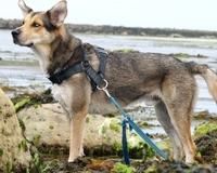 Naima, chien Berger allemand
