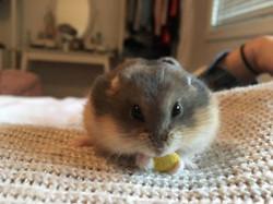 Nain Russe, rongeur Hamster