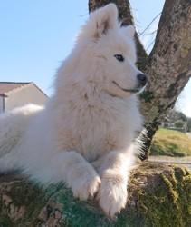 Naina, chien Samoyède
