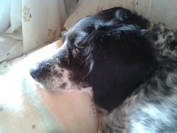 Nais, chien Épagneul breton