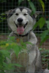 Najak, chien Malamute de l'Alaska