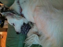 Naki, chien Border Collie