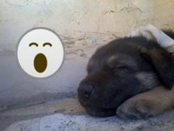 Nala, chien Berger allemand
