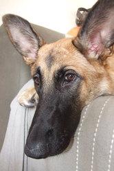 Nala, chien Berger belge